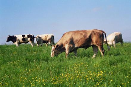 livestock-in-field